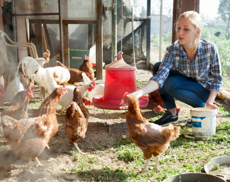 Smiling farmer feeding chicken from bucket with seed